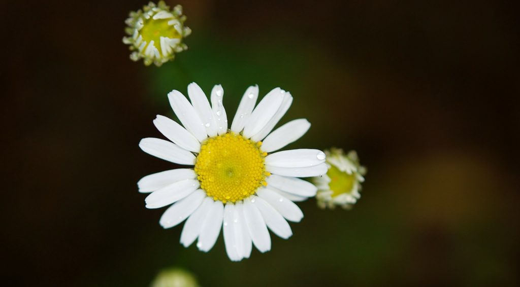 Daisy Flower Smiling unto the World