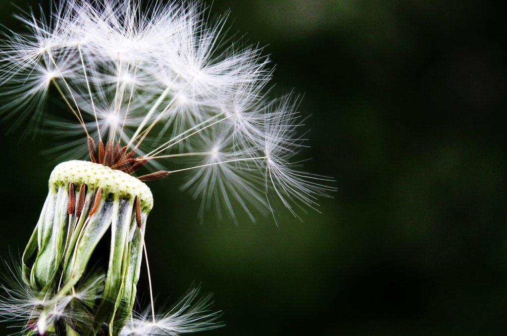 A pretty dandelion