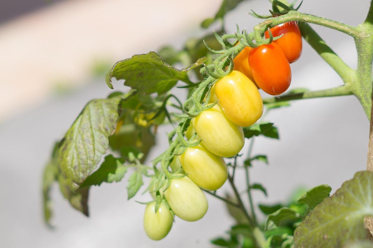 immature tomatoes