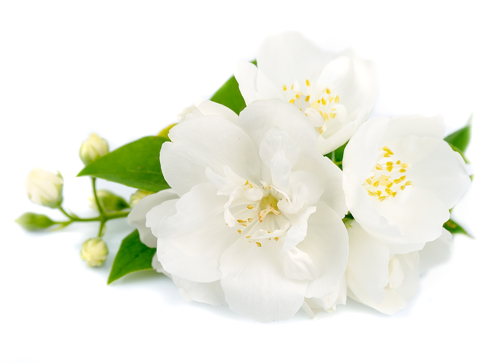 White flowers of jasmine on a white background
